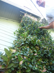 How to Trim Creeping Fig, Ficus pumilla
