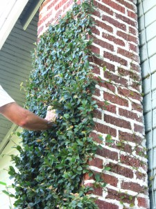 How To Trim Creeping Fig Miss Smarty Plants