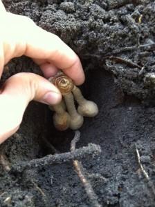 Planting curcuma bulbs