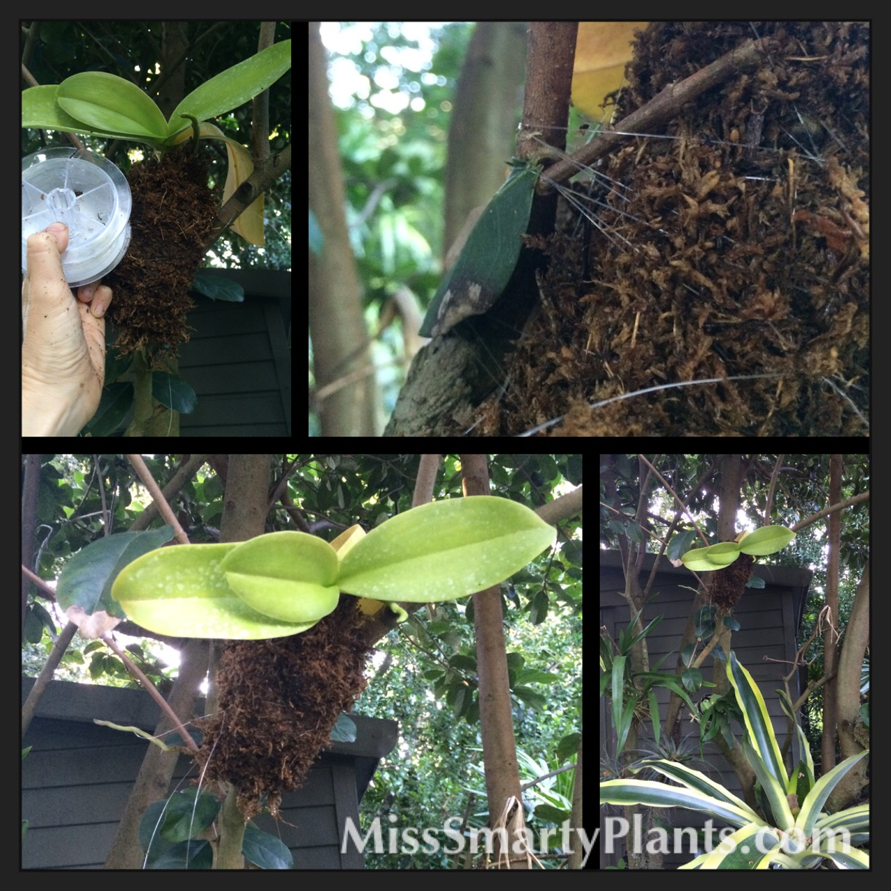 how to grow vanda orchids on trees
