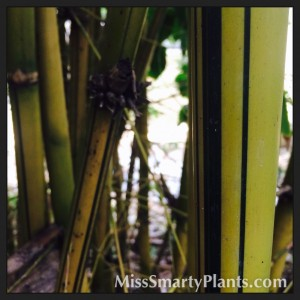 Asian Lemon Bamboo Bambusa eutuldoises  'Viridi-Vitata