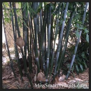 Bambusa chungii  'Barballata'