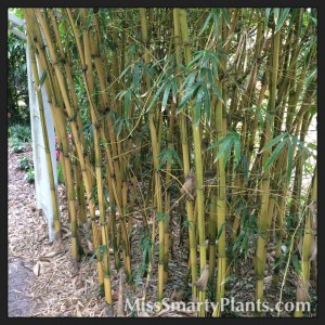 Asian Lemon Bamboo in the landscape.