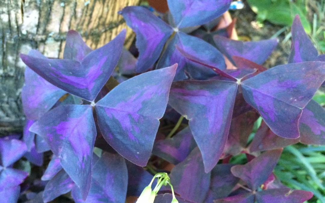 Purple shamrock oxalis regnellii 39 triangularis 39 miss smarty plants - Shamrock houseplant ...