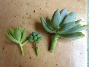 succulent topiary cuttings
