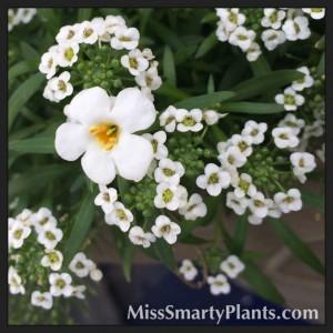Bacopa versus Alyssum flowers