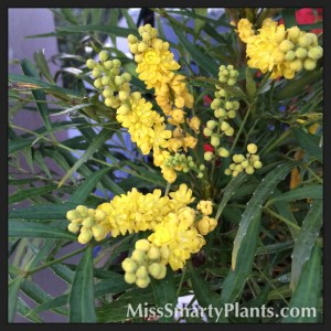 'Soft Caress' Mahonia