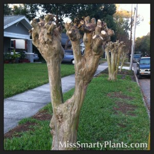 Pruning crape myrtles