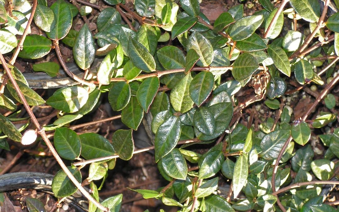 Asian Jasmine, Trachelospermum asiaticum