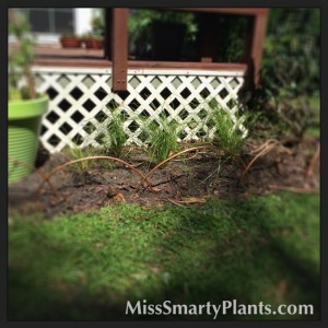 Garden renovation with 'Breeze' Lomandra