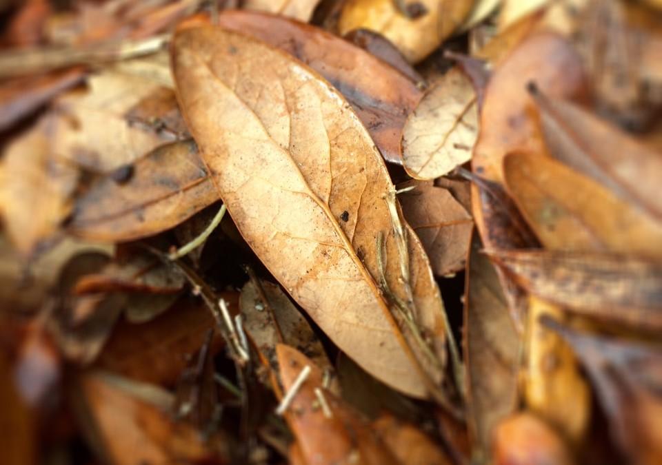 Using Oak Tree Leaves for Mulch