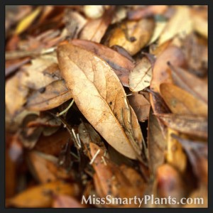 Using Oak Tree Leaves for Mulch