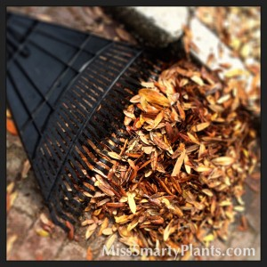 Oak tree leaves as mulch