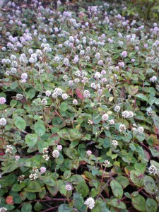 flowering groundcover