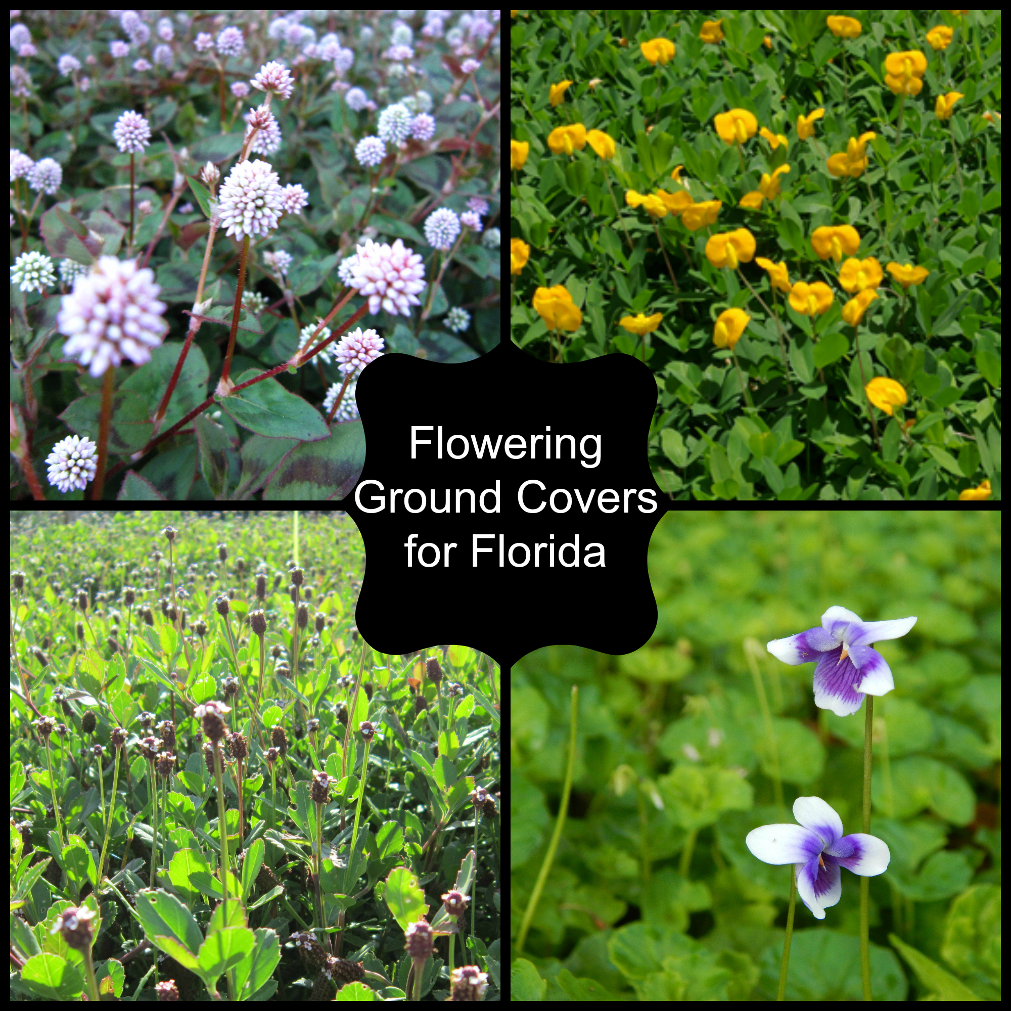 Flowering Ground Covers Miss Smarty Plants