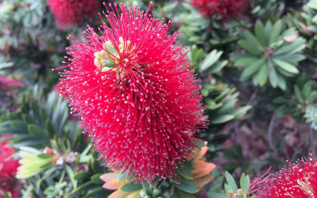 'Little John' Dwarf Bottlebrush Plant