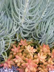 Best Succulents for Florida