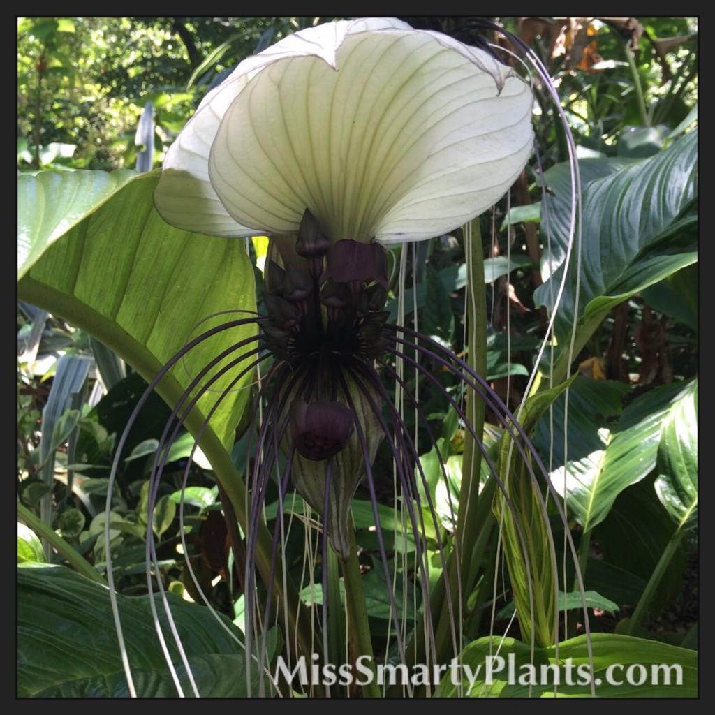 White Bat Flower (Tacca integrifolia)