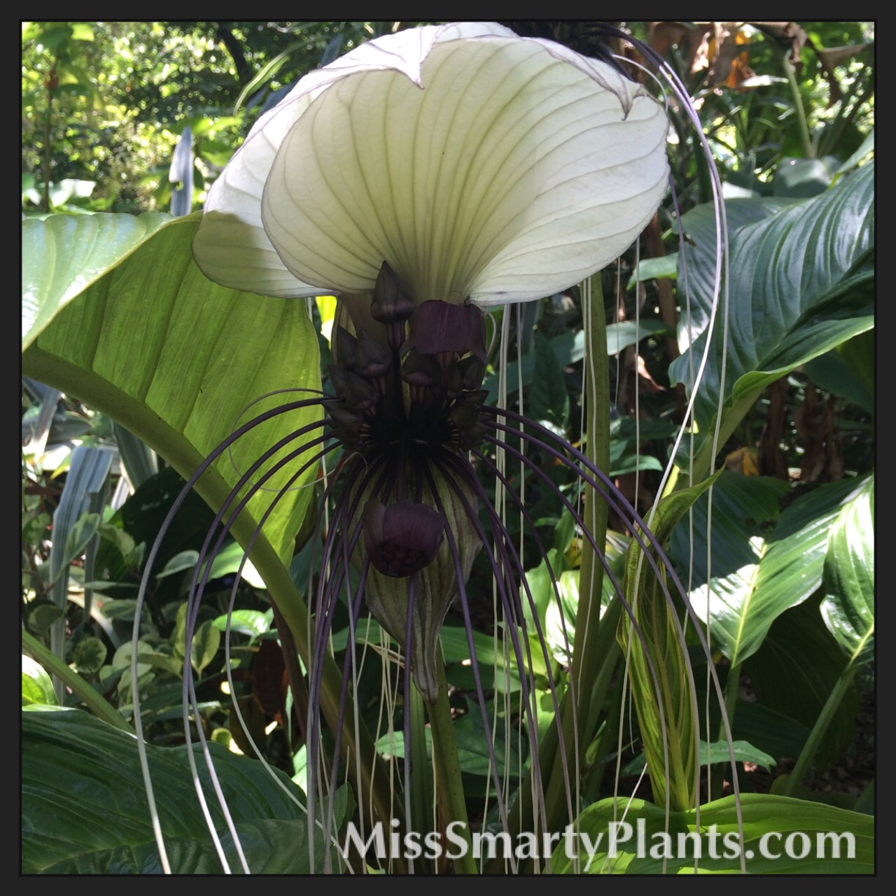 White Bat Flower Tacca integrifolia Miss Smarty Plants