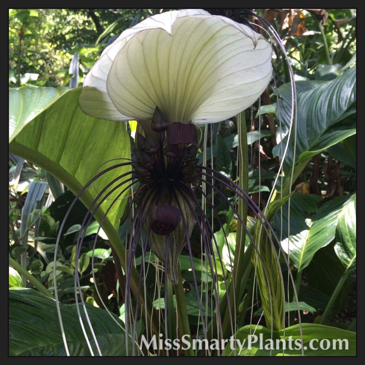 White bat flower tacca integrifolia miss smarty plants white bat flower tacca integrifolia mightylinksfo