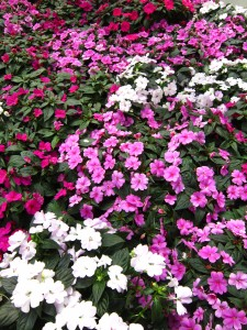 New Guinea impatiens 'Bounce'