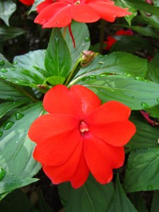 New Guinea impatiens 'Divine Orange'