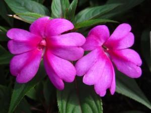 New Guinea 'Divine Scarlet Bronze Leaf'