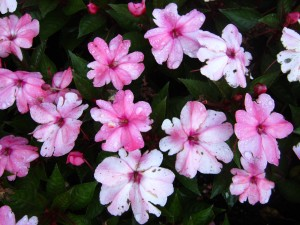 New Guinea 'Sunpatiens Compact Coral Pink'
