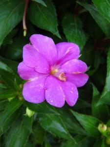 New Guinea 'Sunpatiens Compact Neon Pink'