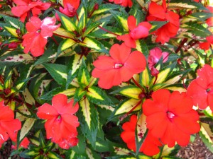 New Guinea 'Sunpatiens Spreading Tropical Orange'