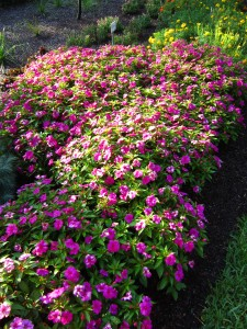 New Guinea impatiens 'Bounce Violet'