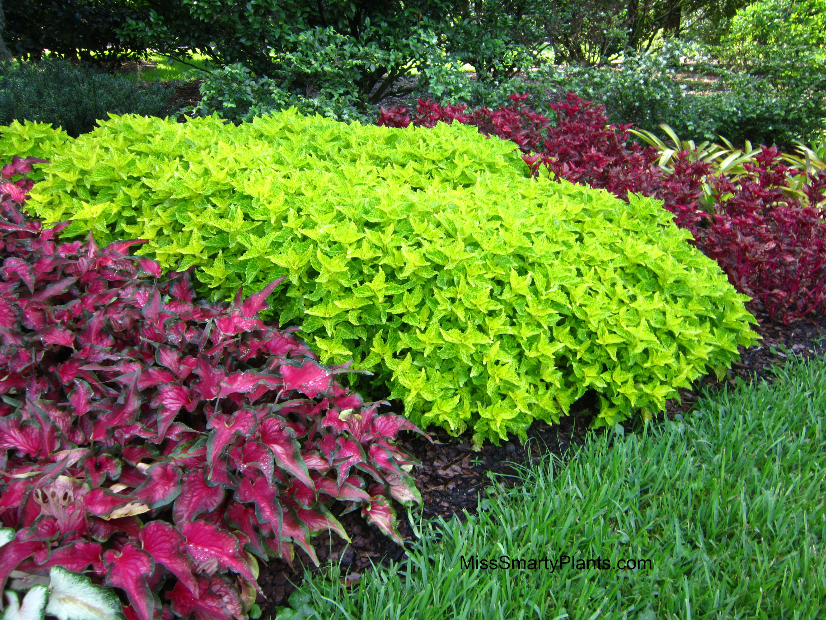 Chartreuse plants miss smarty plants for Green plants for garden