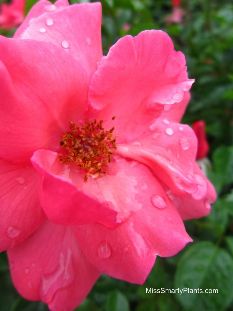 Rose 'Lady Elsie May'