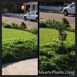Planting a Foxtail Palm, Wodyetia bifurcata