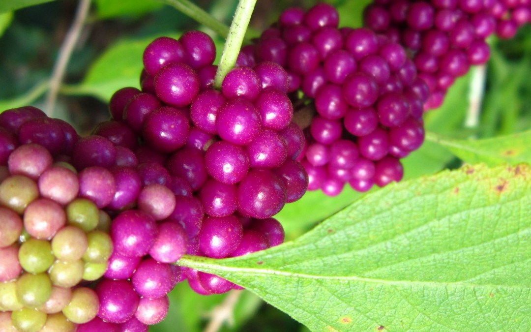 American Beautyberry, Callicarpa americana
