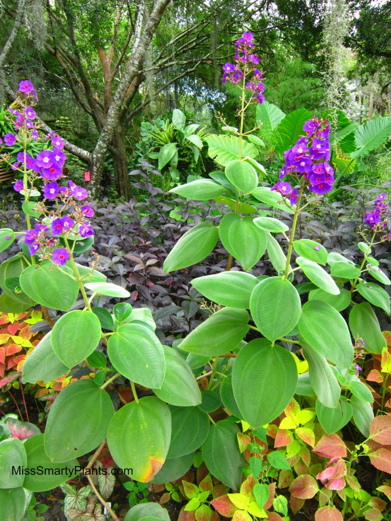 Tibouchina heteromalla - Silver leafed Princess Flower