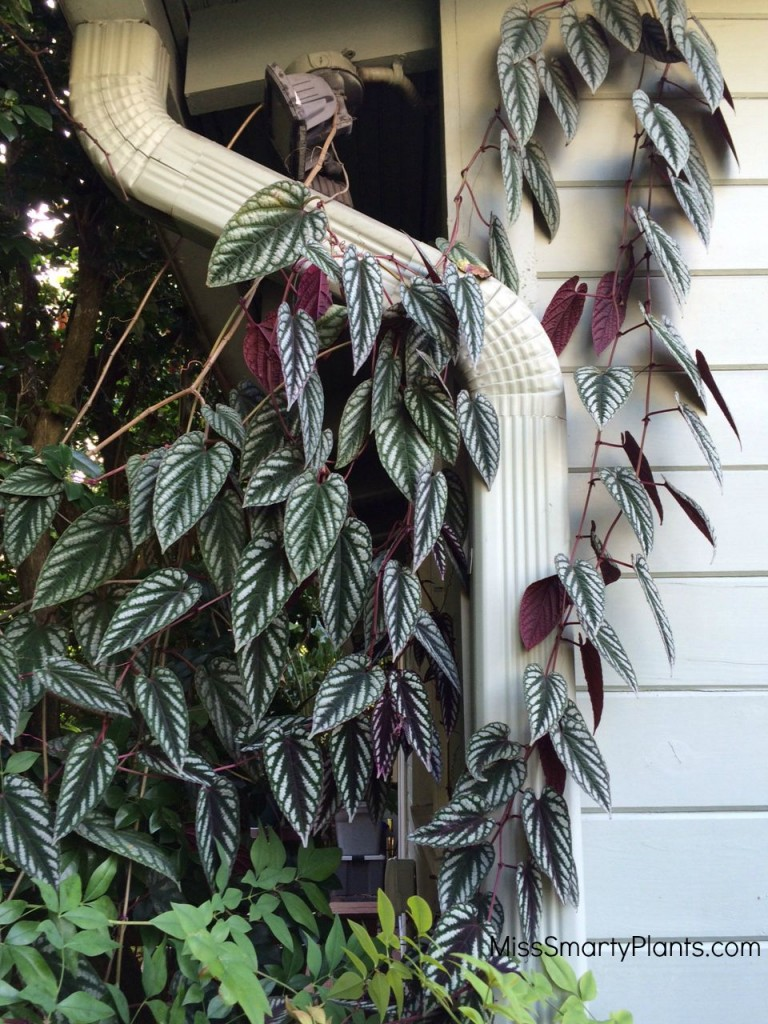 Rex Begonia Vine, Cissus discolor