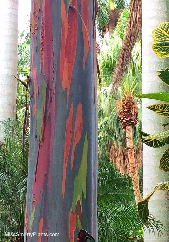 Rainbow Eucalyptus (Eucalyptus deglupta) at the Sunken Gardens