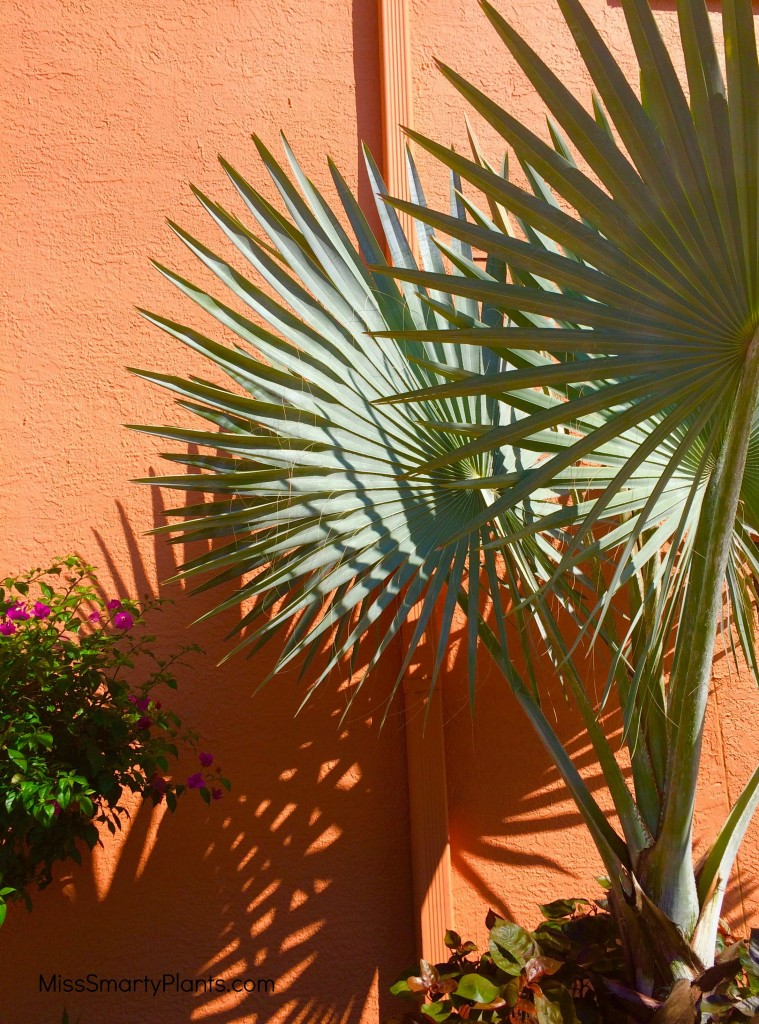 Bismark palm in container