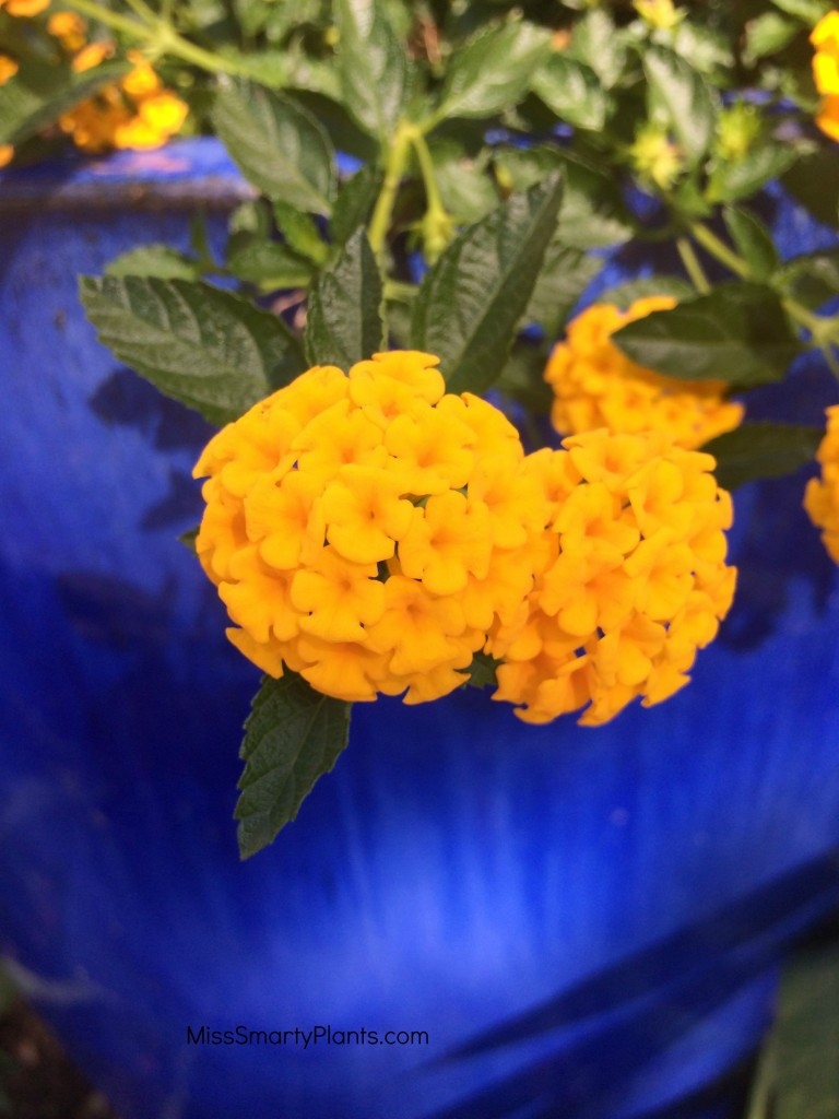 'Gold Mound' lantana and blue container