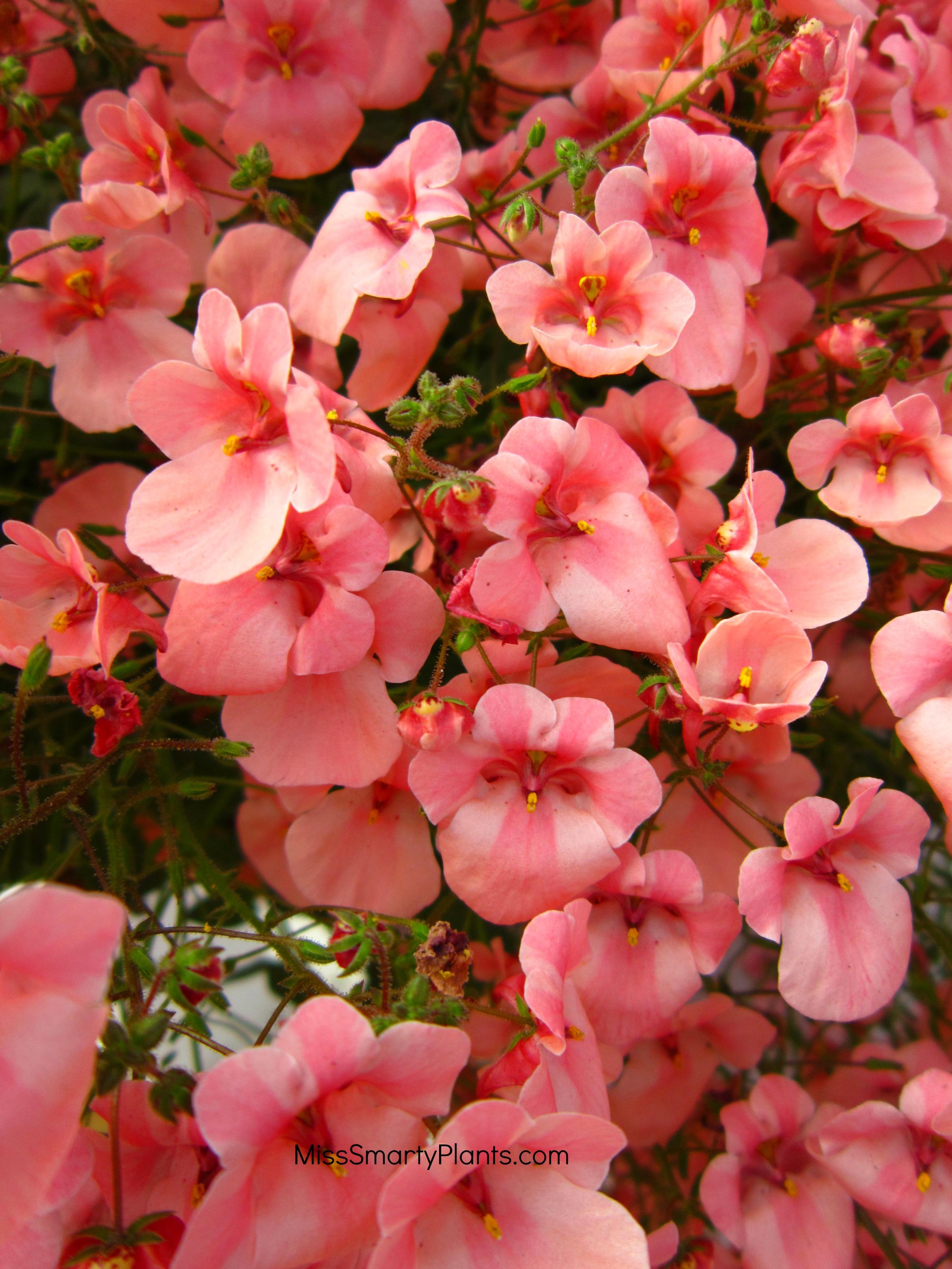Winter flowers for florida diascia penhow little collection izmirmasajfo