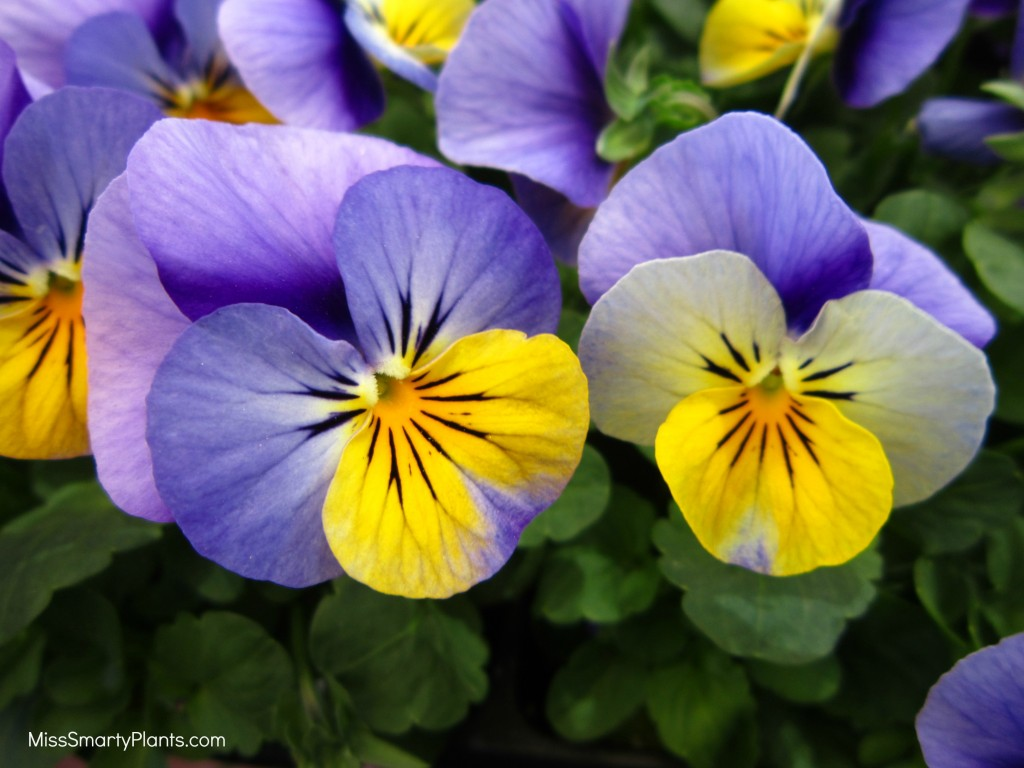 Viola 'Sorbet Yellow Frost XP'