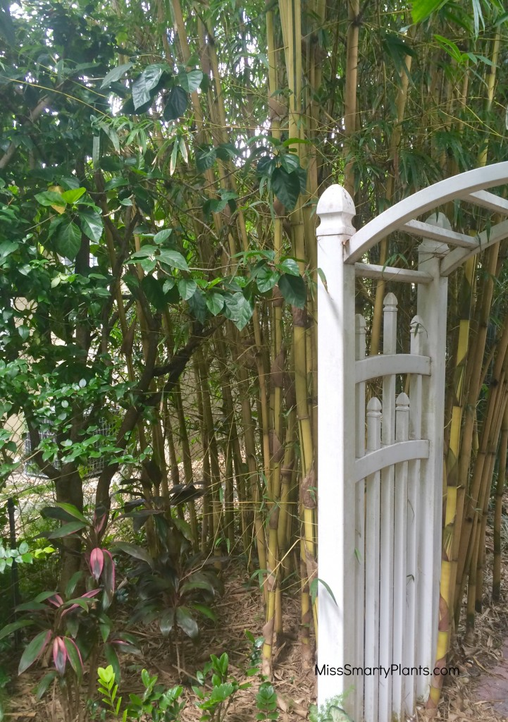 Asian Lemon Bamboo, Bambusa eutuldoises 'Viridi-Vitata'