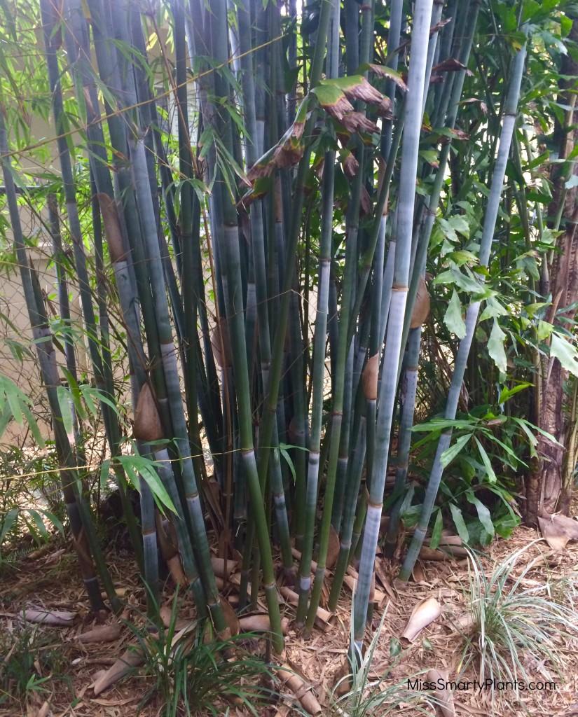 Dwarf Blue Bamboo, Bambusa chungii 'Barballata'