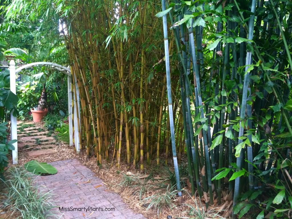 Dwarf Blue Bamboo, Bambusa chungii 'Barballata', and Asian Lemon Bamboo, Bambusa eutuldoises 'Viridi-Vitata'