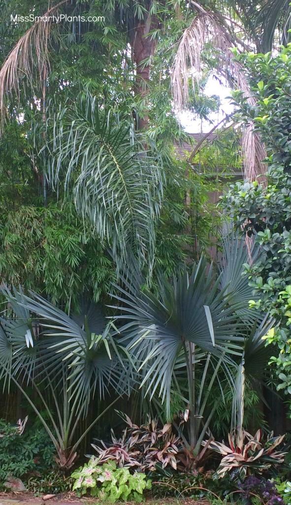 Slender Weavers bamboo, Bambusa textilis gracilis