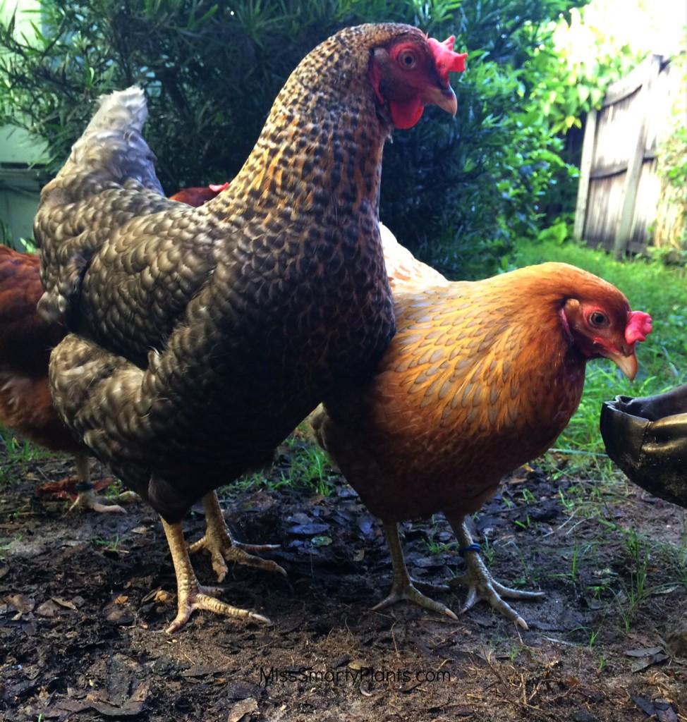 Araucana hen and Barred Rock hen, Backyard Chickens