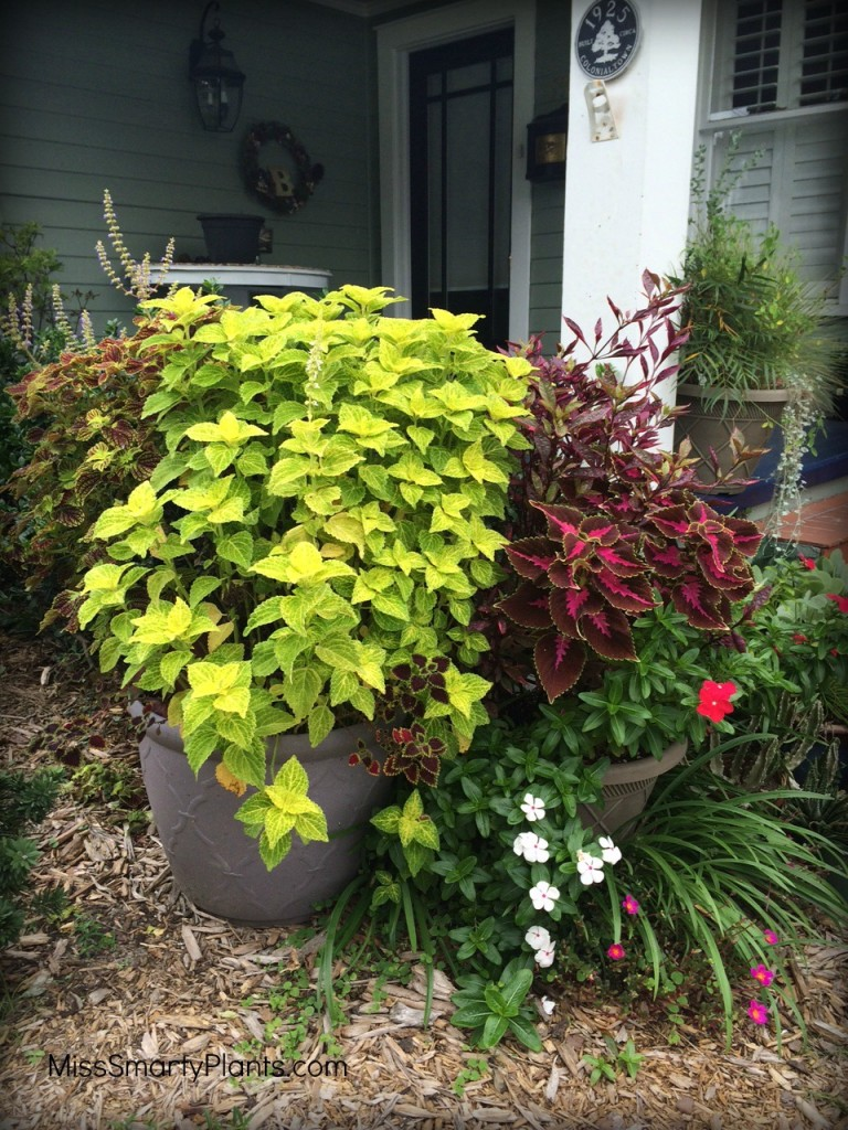 Overgrown coleus container plants