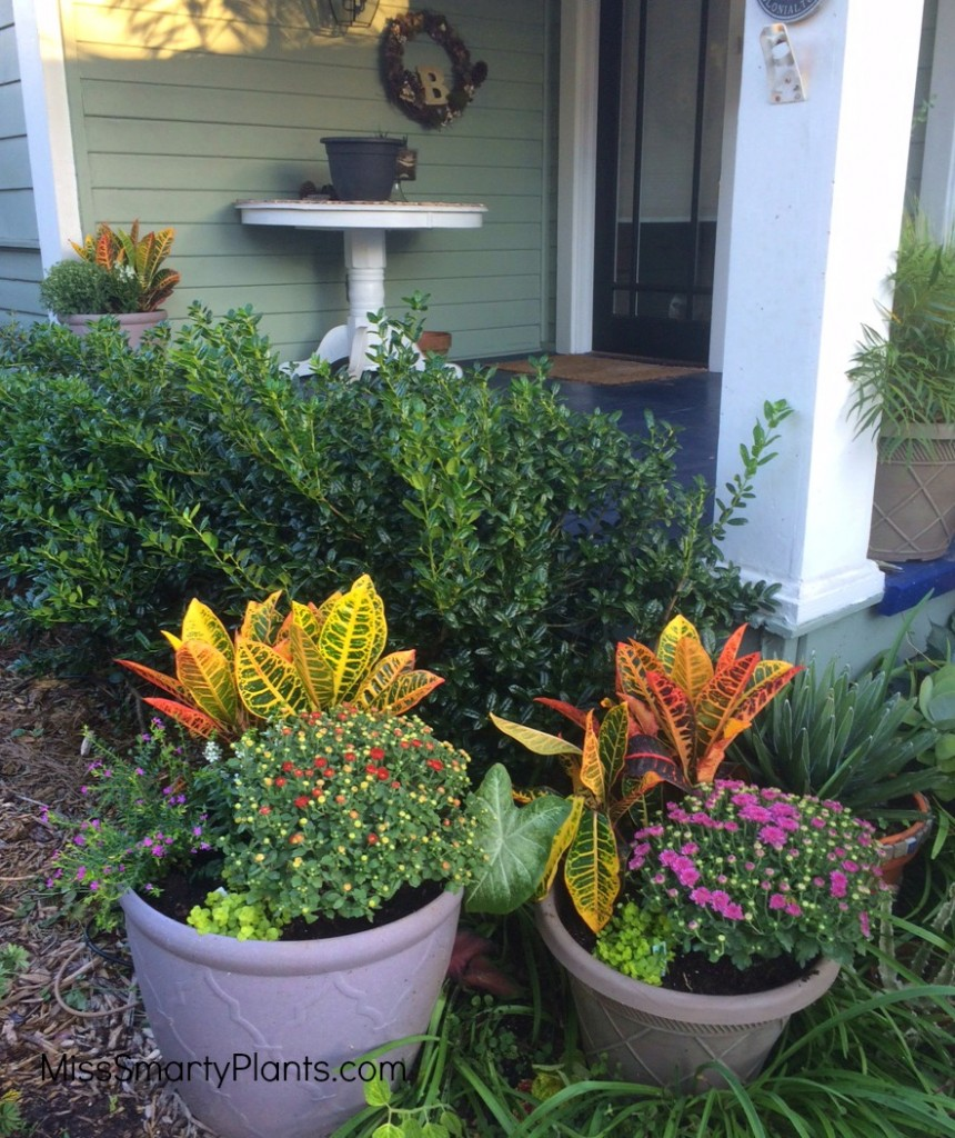 Petra crotons and mums for fall containers for Florida