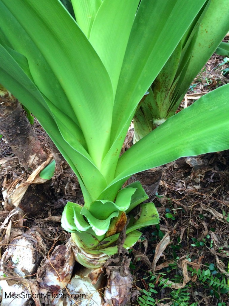 Pruning crinum lily